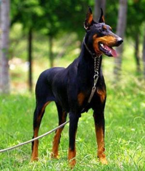 Dog Sales Dog Sales Chennai Dog Sales In Tamilnadu Dog Sales In